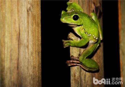 黑掌树蛙的形态特征