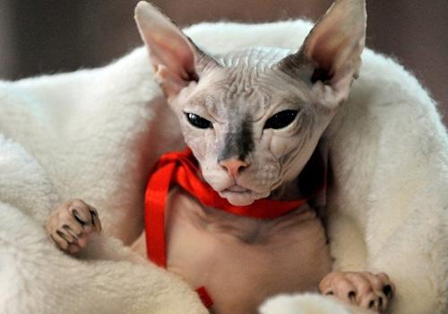 貓咪養護誤區之加拿大無毛貓真的沒有毛?