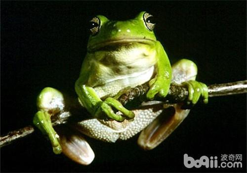 黑掌树蛙的品种简介