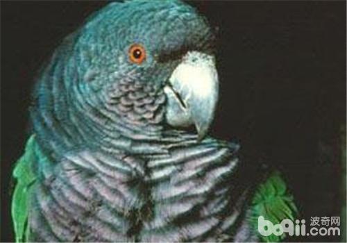 帝王亚马逊鹦鹉的外形特点