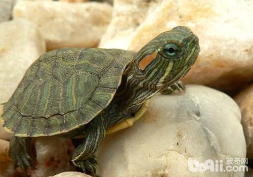 饲养巴西龟的注意事项