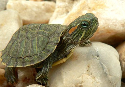 饲养巴西龟的注意事项-宠物知识,宠物大全,宠物美容,宠物训练知