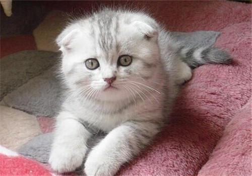 购买猫咪需要注意的事项