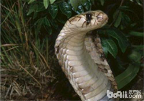 帝皇眼镜蛇王的外形特点