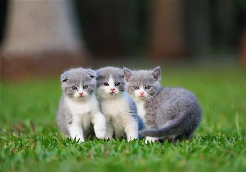 如何在网上购买纯种猫咪