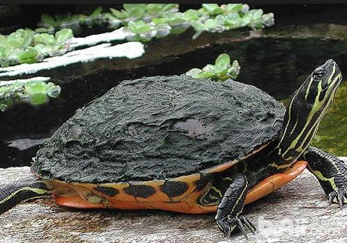 宠物龟的常见病有哪些