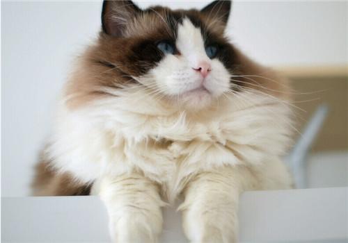 猫咪难产会有哪些征兆