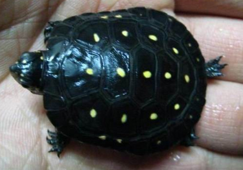 宠物龟寄生虫的处理方法