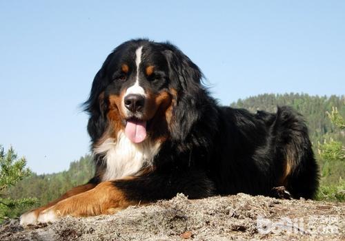 忠心又勇敢的十大家庭护卫犬推荐 看看有没有你喜欢的一款-图片6