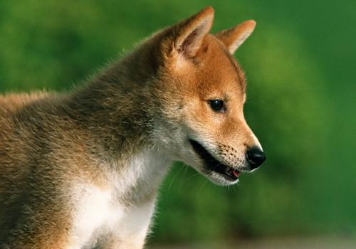 一條好柴犬的標準是什么