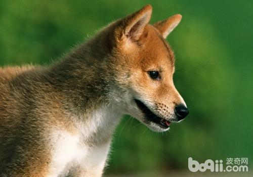 一条好柴犬的标准是什么图片