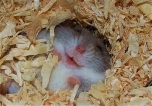 仓鼠皮肤病的原因及症状