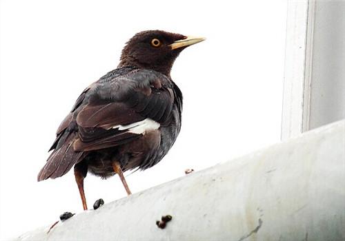 治疗 感冒 如何 八哥/八哥鸟感冒如何治疗