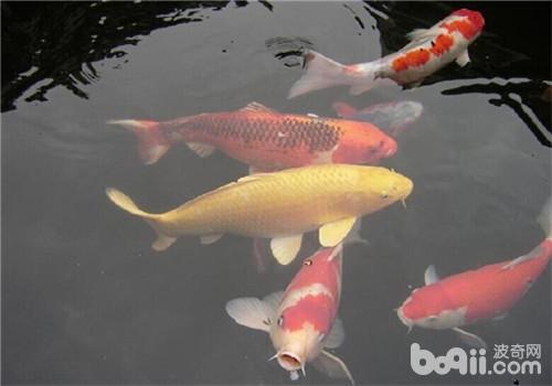 锦鲤能与其它鱼混养吗