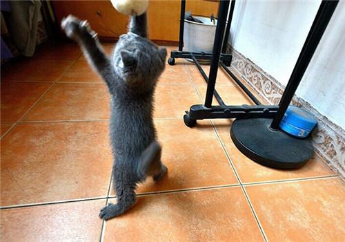 折耳猫多大才能分辨出是否为折耳