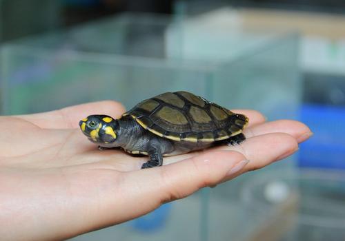 的宠物龟_适合孩子饲养的宠物龟