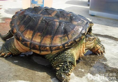 如何防止鳄龟自相残杀