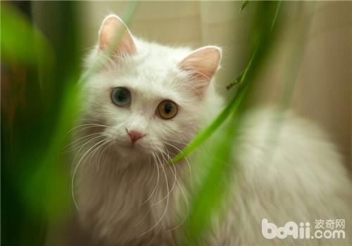 纯种猫与混种猫的区别在哪里