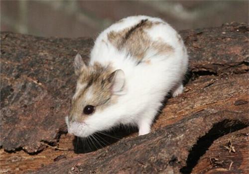 仓鼠与老鼠的区别在哪