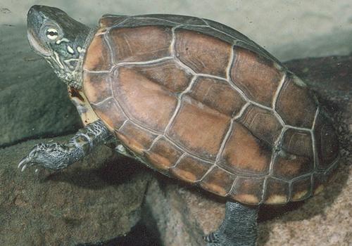 草龟的特点及饲养方法