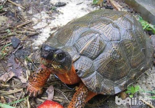 导致乌龟体色暗淡的原因