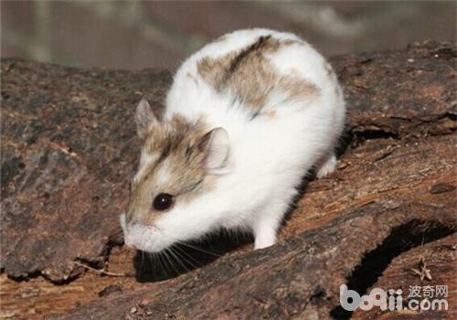 仓鼠是一种很干净的小动物,体型短小,又圆又胖的,最重要的是尾巴很短