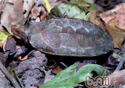蔗林龟的品种简介