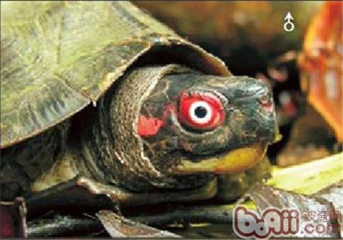 蔗林龟的外观特征