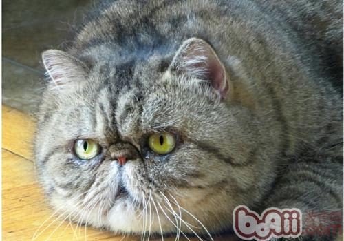 幼猫吃成猫的猫粮有什么影响