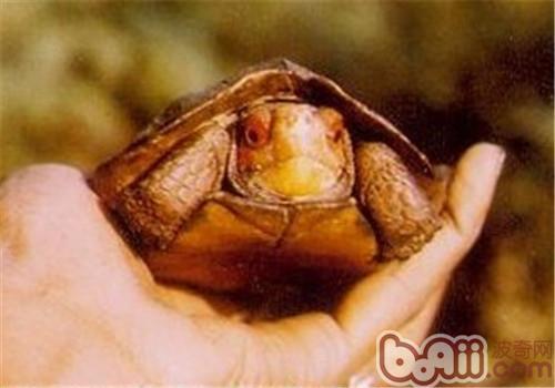 蔗林龟的饲养要点