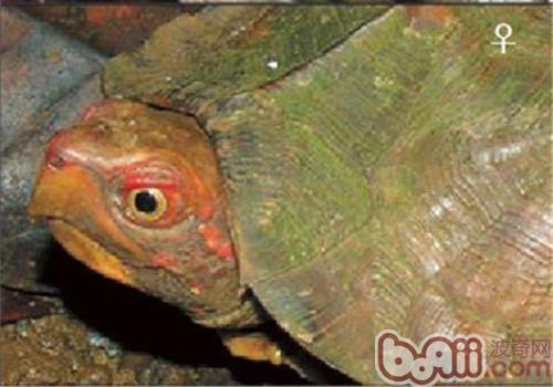 蔗林龟的护理知识