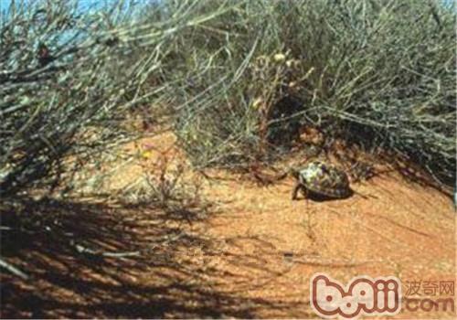 帐篷陆龟的护理知识