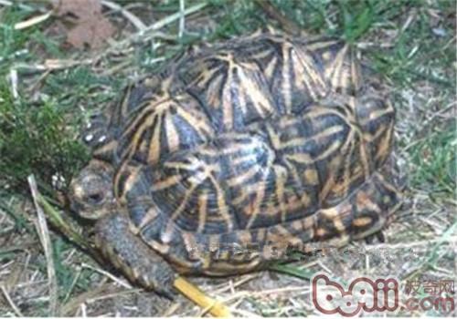 帐篷陆龟的外观特征
