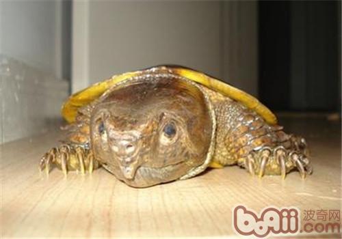 鹰嘴龟不同生长阶段的饲养方法
