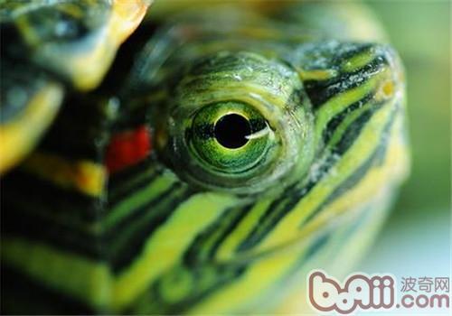 巴西龟基础养殖方法图片