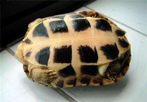 黃喉擬水龜的繁殖方法