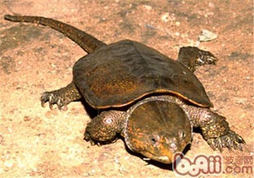 常见的淡水龟品种及养殖方法