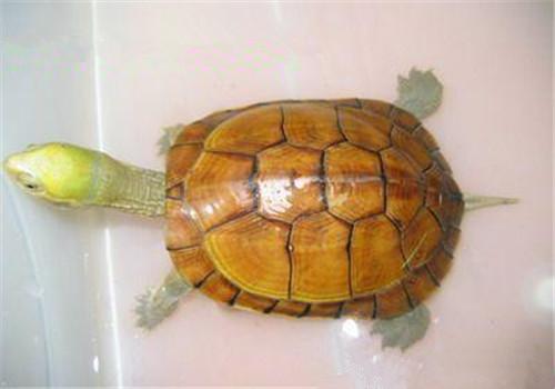 黄喉拟水龟苗的饲养_黄喉拟水龟稚龟饲养技术|爬虫品种-波奇网百科大全