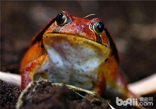 番茄蛙的品种简介