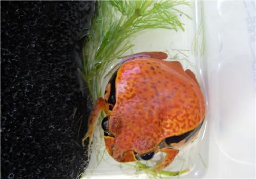 番茄蛙的喂食要点