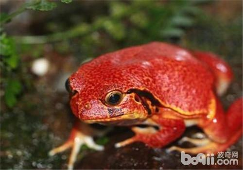 番茄蛙的饲养环境