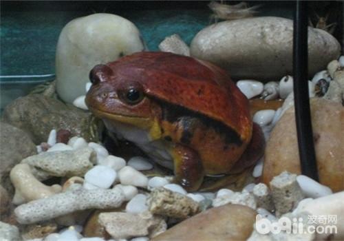 番茄蛙的外形特点
