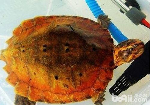 乌龟长寿的原因