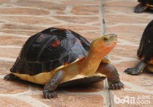 黄缘龟三大不易察觉的死因|宠物龟养护