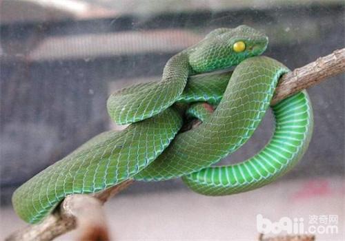 是卵生,以食小型哺乳动物,爬行动物为生,主要有鸟类,鼠类,蛙和小蜥蜴.