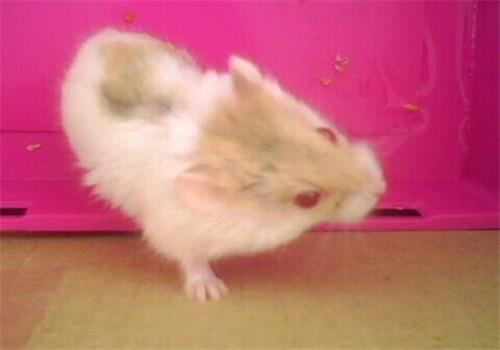 仓鼠繁殖需要注意哪些事项