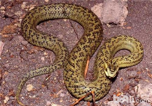怎样分辨是母蛇公蛇