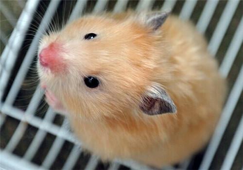 仓鼠也会因换季而换毛吗