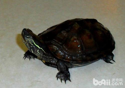 黒颈乌龟的药用价值