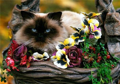 猫咪配种前需要考虑哪些问题